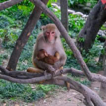 Kathmandu-monkey close up 2