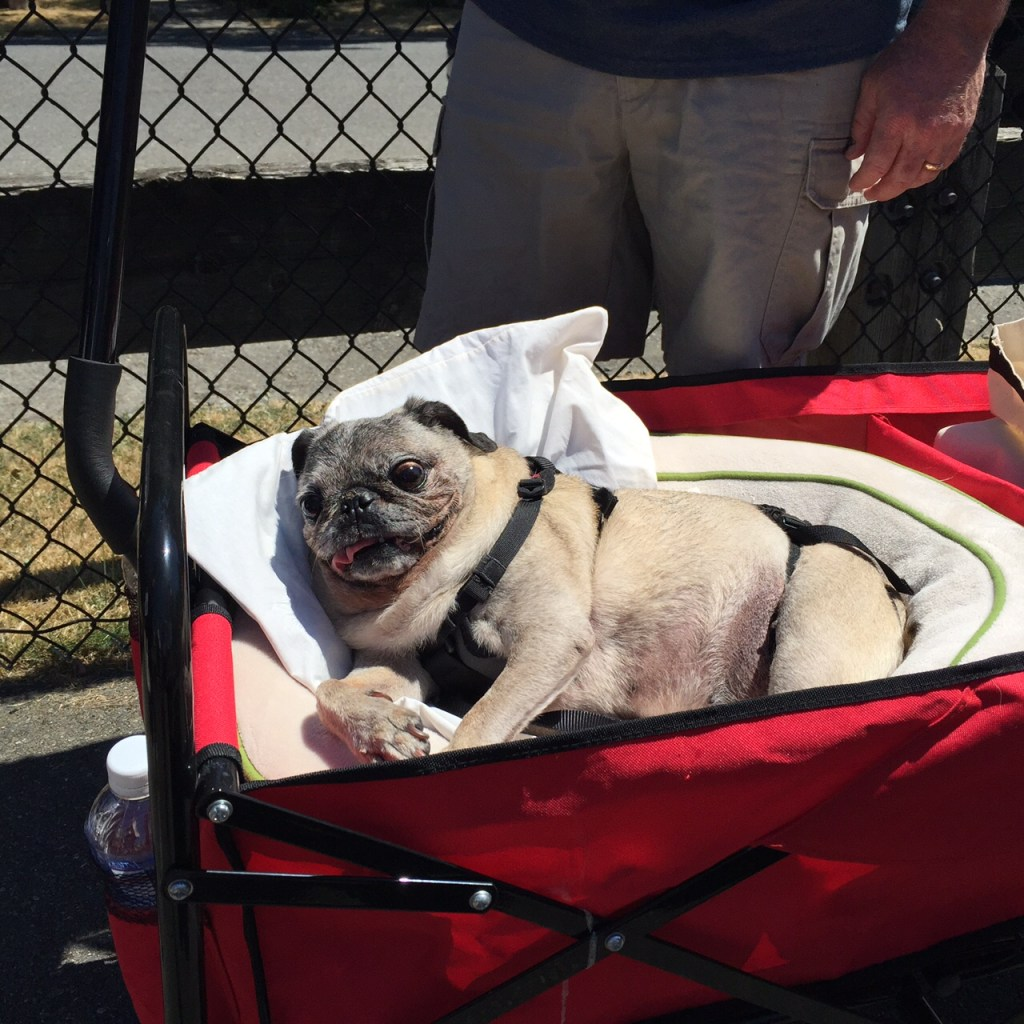 Senior pug riding in a wagon