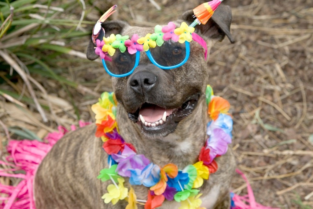 Gabby the dog in sunglasses and hula skirt