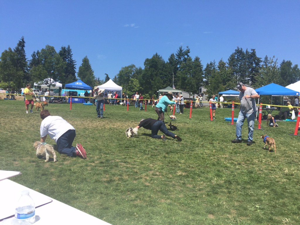 "Dog parents crawl in the grass to get their senior dogs to complete the pageant's ""30-Yard Lollygag."""