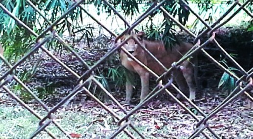 A Lion on the Zoo NL 500x275 Confusion In Owerri Over Alleged Escape Of Lion From Zoo