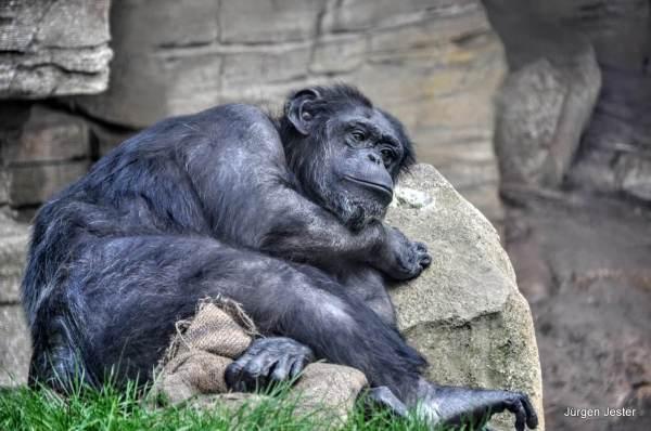 Träumender Schimpanse