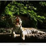 Siberische Tijger(Panthera tigris altaica)