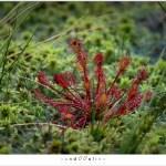 Kleine Zonnedauw (Drosera intermedia) met de EF 100mm f/2,8 macro gefotografeerd
