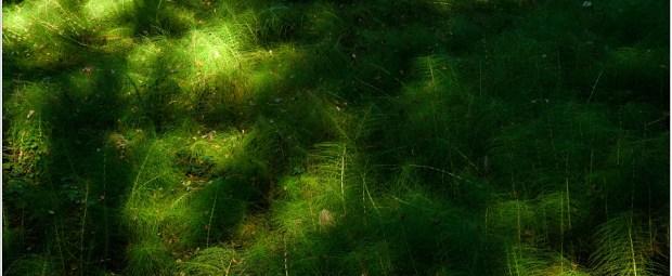 Equisetum arvense Field horsetail, caught by sunlight