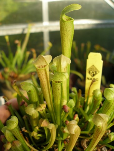 Sarracenia seedlings