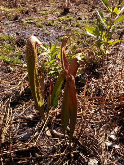 Sarracenia minor at Old Dock Savanna in an area that was probably burned last year. Photo by Mark Todd.