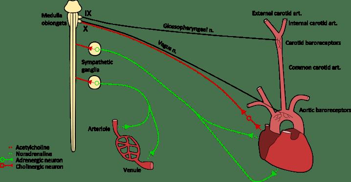 cardiovascular reflexes