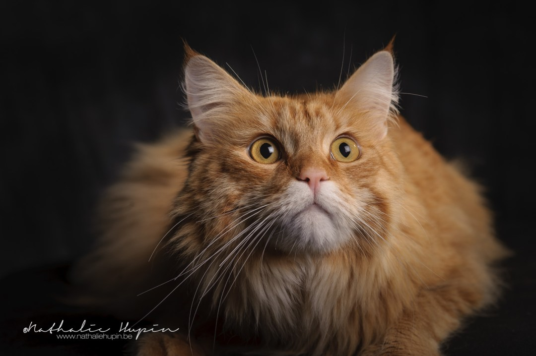 photographe animaux chat brabant wallon