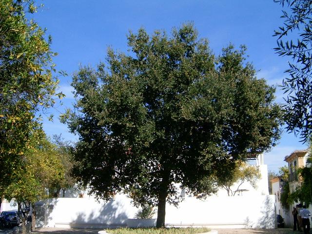 Leccio quercia sempreverde for Quercia sempreverde
