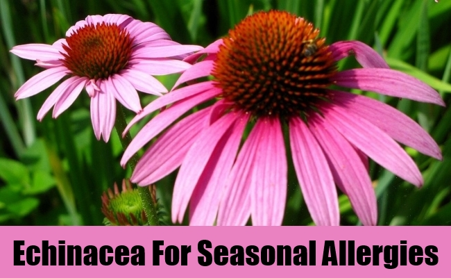 Echinacea For Seasonal Allergies