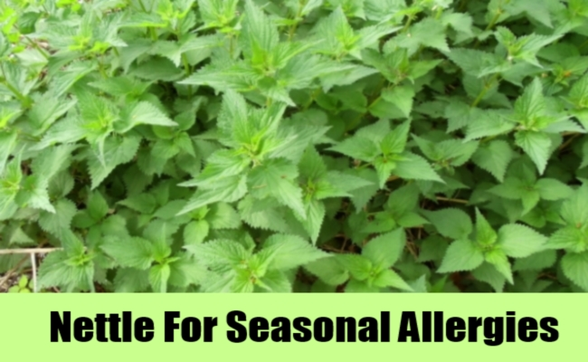 Nettle For Seasonal Allergies
