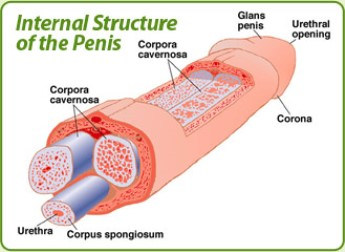 Red small spots on the glans penis