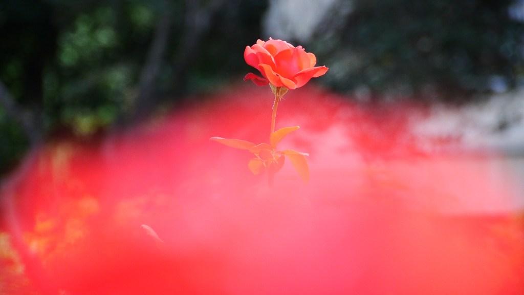 Trandafirul Scolii