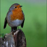 The robin with his distinct red breast
