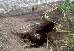 Bumble Bees of ten nest in the ground
