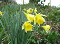 The first Daffodils of spring