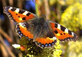 The Small Tortoishell Butterfly