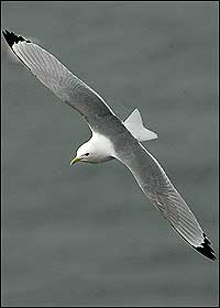 Kittiwake Rissa tridactyla, adult in flight. Grahame Madge (rspb-images.com)