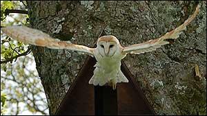 Barn Owl - Pic NNPA