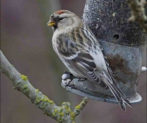 Coues' Arctic Redpoll - Pic Ray Scott