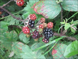 Brambles or blackberries - Scientists want you to spot them and record them