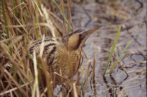 Bittern numbers have increased again this year. Andy Hay (rspb-images.com)