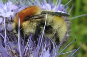 Bumblebee in Baldersdale garden