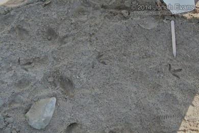 Black-bellied Plover Tracks