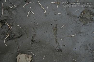 Northern Flicker Tracks