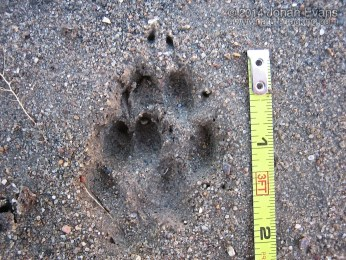 Gray Fox Tracks