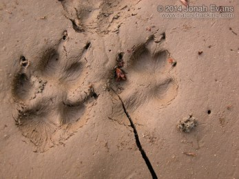 Red Fox Tracks