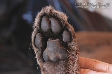 Mountain Lion Hind Foot