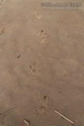 Capybara Tracks