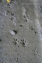Eastern Chipmunk Tracks