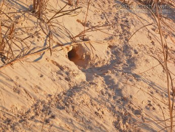 Kangaroo Rat Trail & Burrow