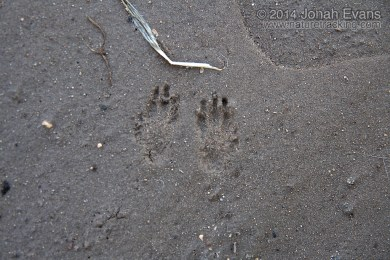 Kangaroo Rat Tracks