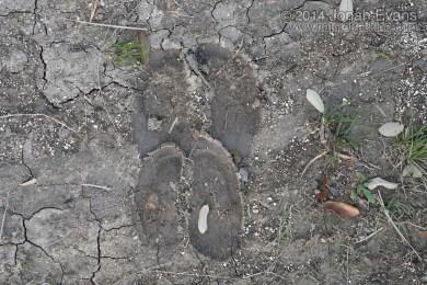 Cow Tracks