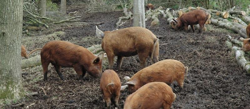 woeste-varkens-pagina2