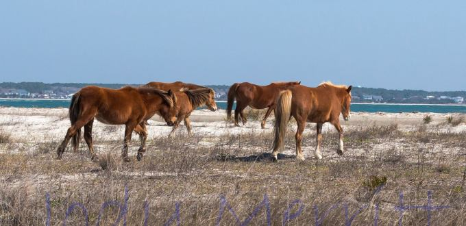 Jody-Merrit-Wild-Horses, Shackleford-banks-nc, Wild-Pony-Expedition