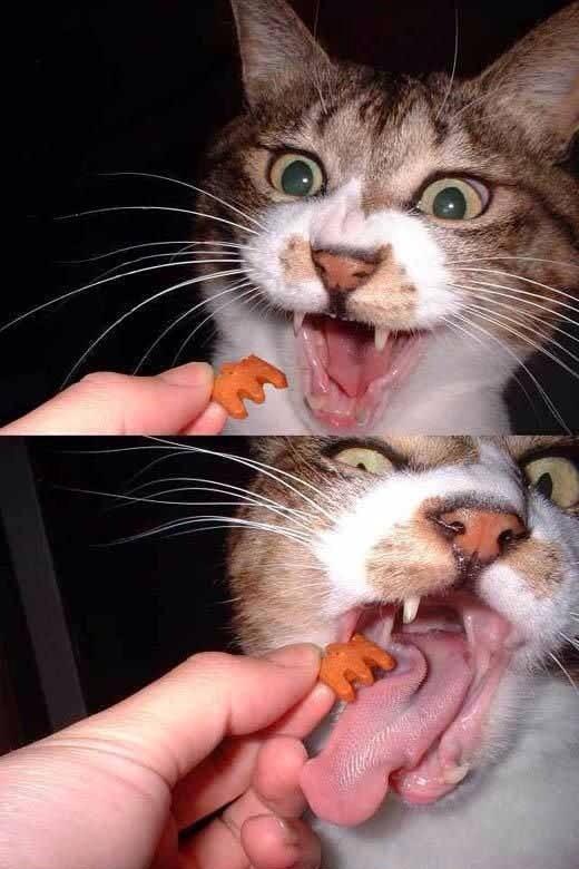 【猫画像】カリカリの食べ方が激しい猫