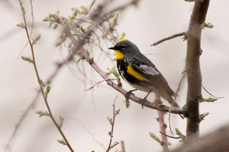Yellow-rumped Warbler - adult male (photo by Anna Fasoli)