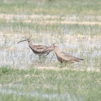 Whimbrel and Long-billed Curlew Comparison - Cibola NWR, AZ