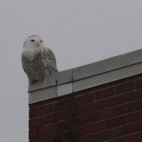 Snowy Owl - Chester County, PA
