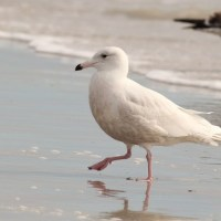 Glaucous Gull - Huguenot Memorial City Park, Florida