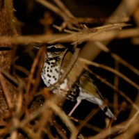 Wood Thrush in Pennsylvania in February!