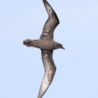 Maryland Herald Petrel - 8/25/12