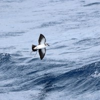 Maryland White-faced Storm-Petrel - 8/25/2012