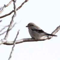 Lighthouse Point Park, CT - Shrike, Snow Buntings, and a Red-shoulder