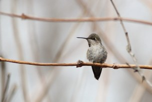 Anna's Hummingbird in Delaware (Photo by Alex Lamoreaux)